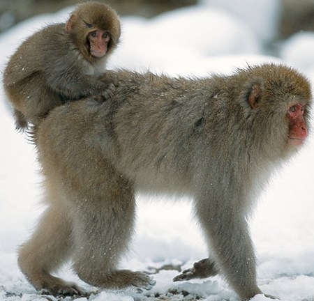 free downloading pics of snow monkey baby
