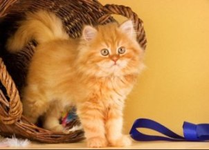 Persian Cat Care For Long And Healthy Life!