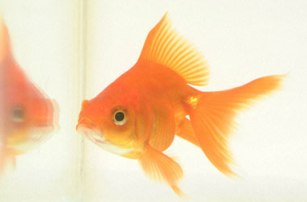 How To Take Appropriate Care For Gold Fish?