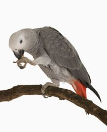 African Grey Parrot - Why Everyone Loves To Keep This Wonderful Bird At Home?