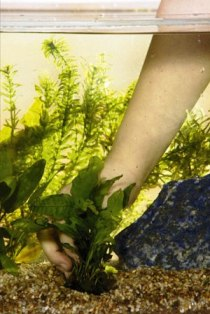 Aquarium Plant - Gives Natural Set Up To The Water In The Aquarium!