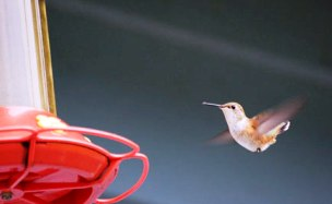 How To Attract Humming Bird To Your Garden?