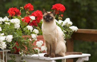 What Are The Features Of Siamese Cat That Makes It Special In Choosing It As A Pet?