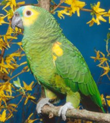 Know The Characteristics Of Amazon Parrot To Adopt It As A Pet!