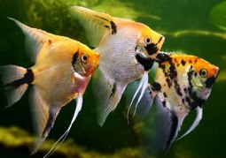 Care To Take Before Placing Angelfish In The Aquarium!