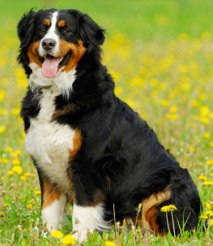 Be Familiar With The Care You Have To Take For Bernese Mountain Dog!