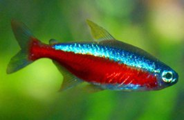 Cardinal Fish - Excellent Addition To Your Large Aquarium!