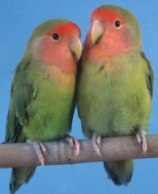 love birds