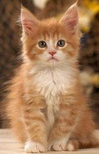 Reasons To Love And Adopt Maine Coon Cat As A Pet!