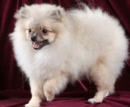 What To Consider When Selecting Pomeranian Puppy As Pet?