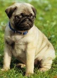 Know The Pros And Cons Of Choosing Pug Puppy As A Pet!