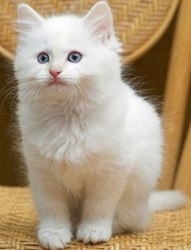 Essential Aspects To Know Before Buying Ragdoll Kitten!