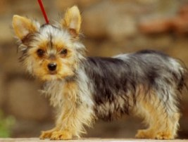 Yorkie Puppy!