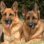Proper Care And Grooming Tips For German Shepherd Dog!