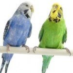 budgies