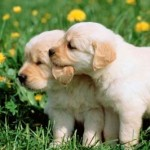 Things To Know When Bringing Puppy To Your Home As Pet!