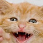 How To Take Care Of Your Cat's Teeth?