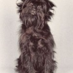 How To Take Care Of Affenpinscher Pup?