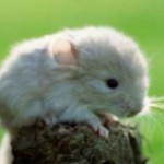 Things To Consider Before Buying Chinchillas