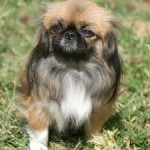 Useful Grooming Tips For Pekingese Dogs