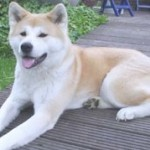 Helpful Tips For Taking Care Of Akita Dog