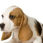 Grooming Tips For Beagle Dogs