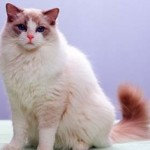 Most Lovable Cat Breeds