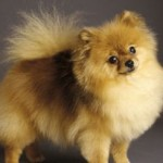 Pomeranian Puppy Training Tips