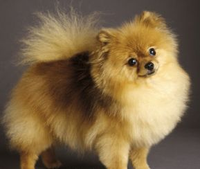 Pomeranianpuppies Care on The Cute And Small Little Dog That We All Say Oh It S So Cute I Need