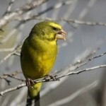 Feeding Tips For Canary Bird