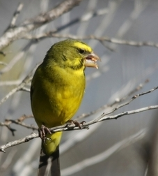 canary bird
