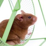 Selecting A Home For Your Hamster