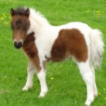 Adorable Horse Breeds