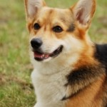 How To Care For Welsh Corgi?