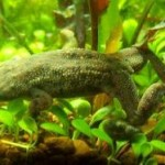 A Unique And Interesting Pet For Kids: African Dwarf Frog