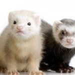 Ferrets Are Similar Pets As Dogs