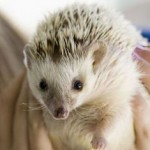 How To Care For Your Pet Hedgehog?