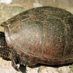 Care Tips For Musk Turtle