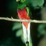Behavior Of Quetzal Bird