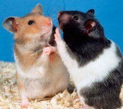 hamsters