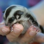 What To Feed Your Pet Sugar Glider?