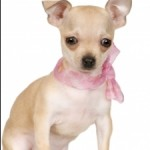 How To Raise Chihuahua Puppies?