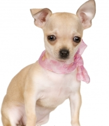 Feeding Puppies on Chihuahuas Are Puppies For Nearly Two Years So During This Period You