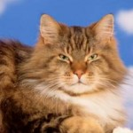 Taking Care Of Your Maine Coon Cat