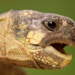Commonly Known Infections In Turtles