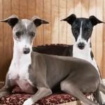 10 Funny Greyhound Habits