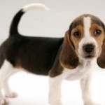 Keeping Beagle Puppies As Pets
