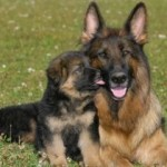 Choosing German Shepherd Puppies As Pets