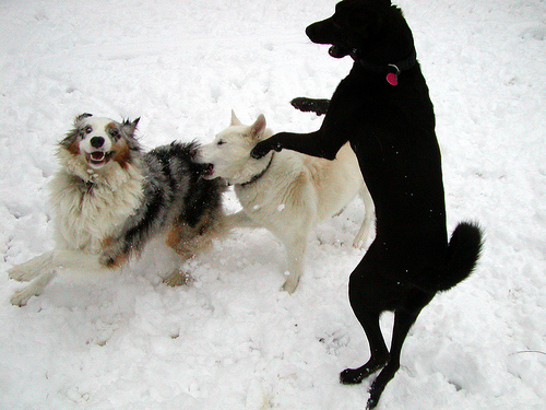 snow-dogs