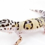 Practical Guide For Leopard Gecko Owners